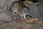 Northern Brown Bandicoot Australia (Northern Brown Bandicoot )