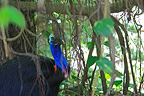 Southern Cassowary in the Daintree NP Australia (Southern Cassowary)