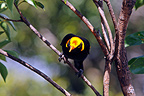 Regent Bowerbird male in the Lamington NP Australia (Regent Bowerbird)