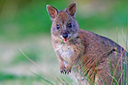Red-necked Pademelon, Lamington, NP Australia (Red-necked Pademelon)