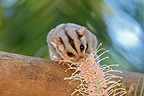 Squirrel Glider eating a floweer Australia (Squirrel Glider)