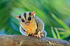 Squirrel Glider on a branch Australia (Squirrel Glider)