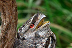 Portrait of a Papuan Frogmouth Australia (Papuan Frogmouth)