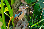 Blue-winged Kookaburra in the forest Australia (Blue-winged kookaburras)