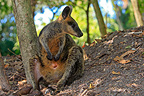 Parma Wallaby in the forest Australia (Parma Wallaby)
