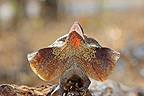Frill-necked Lizard on a rock Australia (Frilled Lizards)