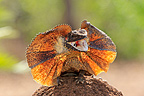 Frill-necked Lizard frightened showing her collar Australia (Frilled Lizards)