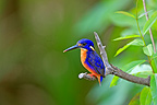 Azure Kingfisher in the NP Kakabu Australia (Azure Kingfisher)