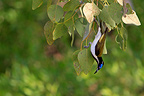 Blue-faced Honeyeater in the NP Kakabu Australia (Blue-faced Honeyeater)