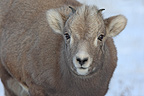 Young bighorn sheep in Canada Jasper NP Canada� (Bighorn Sheep)