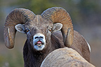 Bighorn sheep male sniffing female Jasper NP Canada� (Bighorn Sheep)