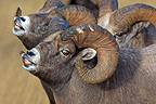 Bighorn sheeps males sniffing female Jasper NP Canada� (Bighorn Sheep)