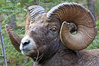 Portrait of a Bighorn sheep male in the Jasper NP Canada� (Bighorn Sheep)