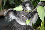 Portrait of a Koala eating a leaf of Eucalyptus Australia (Koala)
