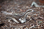 Bush Thick-knee incubating eggs Australia (Bush thick-knee)