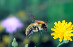 Carder Bumblebee flight and yellow flower Auvergne France�