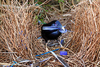 Male Satin Bowerbird building his nest Australia (Satin Bowerbird)