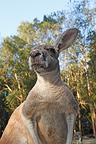 Portrait of an Eastern Grey Kangaroo Australia (Eastern Grey Kangaroo)