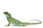Asian Water Dragon male on white background (Asian Water Dragon)