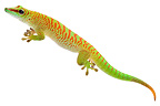 Grandis day gecko 'high red' type on white background