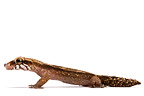 Grandidier's Madagascar Ground Gecko on white background