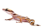 Northern Velvet Gecko on white background