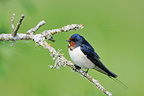 Barn Swallow on a branch (Barn swallow)