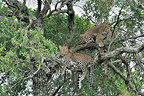 Female Leopard and her young in a tree Kenya (African leopard)