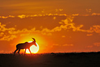 Topi at sunrise in the Masai Mara RN Kenya (Topi)