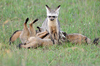 Bat-eared Fox nursing her young Masai Mara RN Kenya (Bat-eared fox )