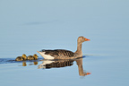 Greylag Goose swimming with his young (Greylag Goose)