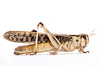 Gregarious Desert Locust on white background