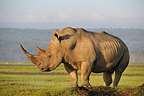 White Rhinoceros in Lake Nakuru in Kenya� (White rhinoceros)