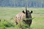 Black Rhinoceros feeding Masai Mara RN Kenya (Black rhinoceros)