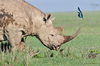 Black Rhinoceros and a Glossy starling in Kenya (Black rhinoceros)