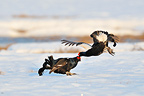 Battle of Black Grouse males courting in snow (Black grouse)