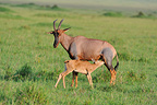 Young Topi sucking its mother in the Masai Mara NR Kenya� (Topi)