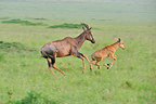 Young Topi and his mother fled in the Masai Mara NR Kenya  (Topi)