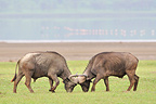 Fight of African Buffaloes at Kenya (Cape buffalo)