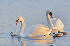 Pair of Mute Swan and young France (Mute Swan)
