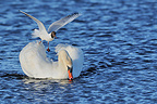 Black-headed Gull attacking a Mute Swan� (Black-headed Gull)