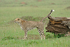 Cheetah marking its territory on the trunk of a dead tree� (Cheetah)