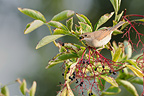Blackcap eating a bay Elder France (Blackcap)