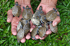 Birth of Yellow-spotted Sideneck Turtles Peru (Yellow-spotted River Turtle)