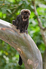 Goeldi�s Monkey in the Monkey island Amazon river Peru (Goeldi's Monkey )