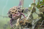 Pair of Common toads mating underwater (European toad)