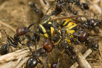 Fight between workers and soldiers and a Polistes wasp Spain (wasp)