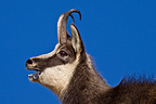 Portrait of male rutting Chamois Swiss Jura (Chamois )