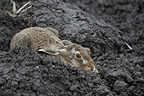 European Hare lying in a groove Germany� (European Hare )