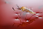 Male Common Mosquito, newly emerged from pupa,  floating on the surface of the water.